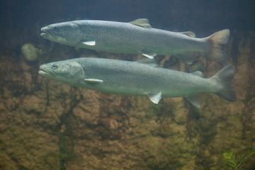 Huchen (Hucho hucho) or Danube salmon.