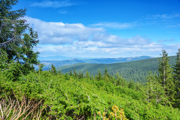 Carpathian Mountains, coniferous forest.