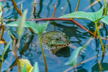 pool frog in a pond covered with duckweed densely water