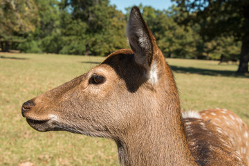 Femaile Sika Deer