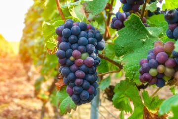 Vine grapes in champagne region in autumn harvest, France