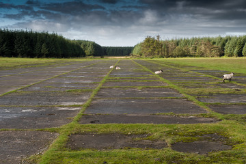 Sheep on an abandoned runway at Davidstow Airfield in Cornwall.
