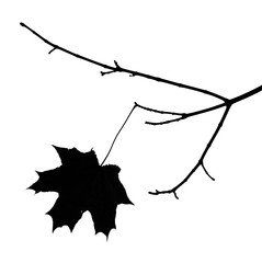 Autumn leaf of a maple on a branch. Silhouette on a white backgr