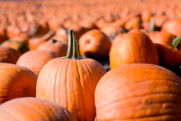 A pumpkin stands tall among a field of pumpkins.