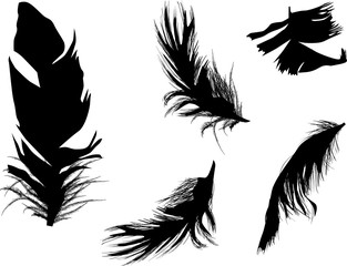 five fluffy black feathers isolated on white