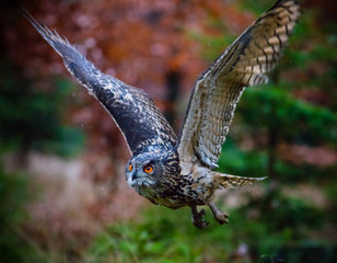 Eagle Owl swoops in low hunting.