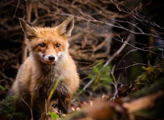 Red Fox - Vulpes vulpes, close-up.