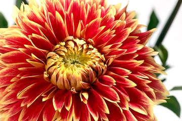 dahlia fine flower as part of decorative ornaments
