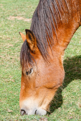 Primer plano cabeza de caballo pastando. Parque Natural de Las Ubiñas y La Mesa, Asturias.