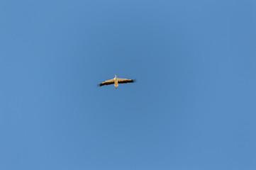 Cigüeña volando en cielo azul