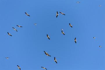 Bandada de cigüeñas volando en círculos