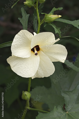 Aibika Abelmoschus Manihot Called Sunset Muskmallow And Sunset