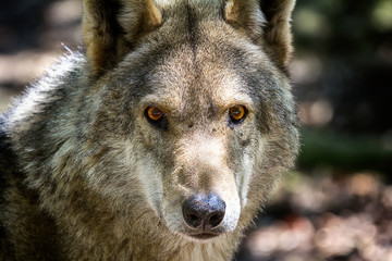 Wolf head and eyes
