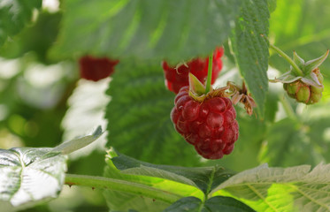Raspberry on a branch under leaves.