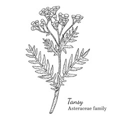 Ink tansy herbal illustration. Hand drawn botanical sketch style. Absolutely vector. Good for using in packaging - tea, condinent, oil etc - and other applications