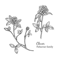 Ink clover herbal illustration. Hand drawn botanical sketch style. Absolutely vector. Good for using in packaging - tea, condinent, oil etc - and other applications
