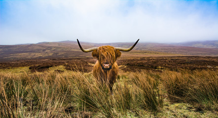 Canvas Prints Highland Cow Highland cattle
