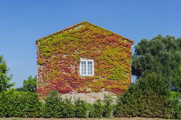 ivy creeper house