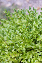 Buxus sempervirens bush - details and texture on the leaves