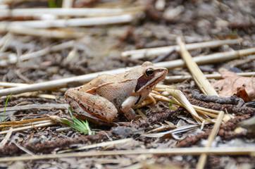 Grenouille rousse sur le sol, avec des brins de paille.
