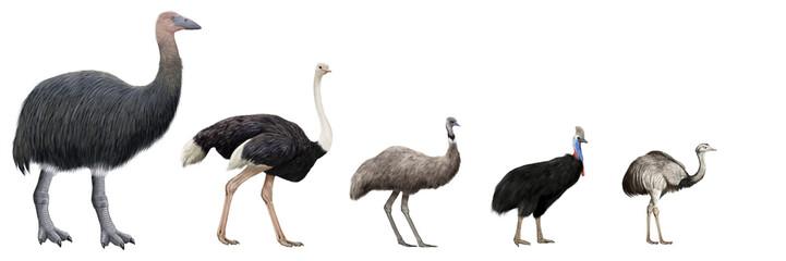 Flightless large birds comparation