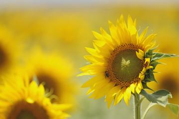 Sunflower (Helianthus Annuus); Teba, Andalusia, Spain