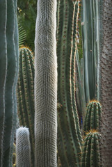 Close up of the detail of cactus plants at majorelle garden;Marrakech, morocco