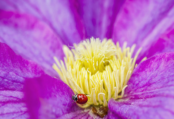 A ladybug on a pink clematis;British columbia canada