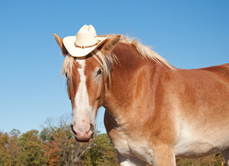 Funny image of a blond Belgian Draft horse wearing a cowboy hat