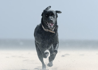 A Black Labrador Dog Runs Down Punta Paloma Beach; Tarifa, Cadiz, Andalusia, Spain