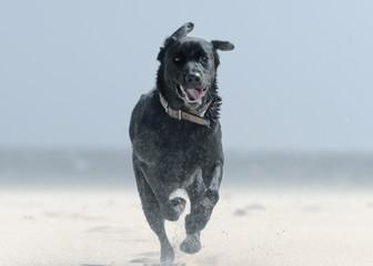 A Black Labrador Dog Runs Down Punta Paloma Beach; Tarifa, Cadiz, Andalusia, Spain