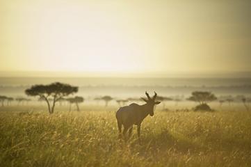 An Antelope Walks In The Grassland At Sunset; Kenya
