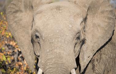 Closeup of African Elephant Head