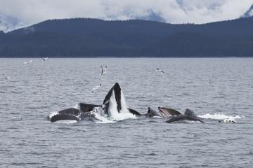 Humpback Whales (Megaptera Novaeangliae) Bubble Net Feeding; Juneau, Alaska, United States of America