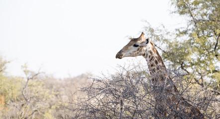 Wild Cape Giraffe (Giraffa giraffa giraffa) Standing in Brush in Africa