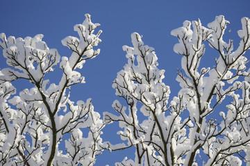 Fresh Snow On Tree Branches; Lemington, Newcastle Upon Tyne, England