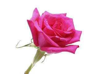 Flower pink rose close up.