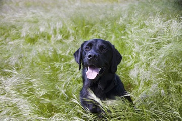 Dog Laying In Long Grass; Newbrough, Northumberland, England