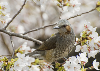 Bird perched among cherry blossoms