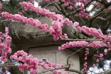 Cherry Blossoms; Kyoto City, Kyoto, Japan