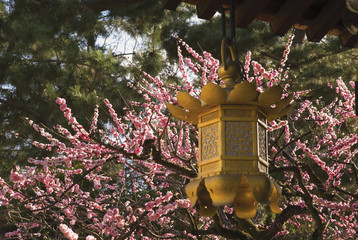 Golden Lantern With Cherry Blossoms In The Background; Kyoto City, Kyoto, Japan