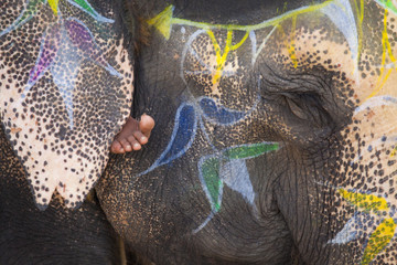 An Elephant's Face Trunk And Ears Decorated With Paint With A Barefoot Showing Under The Ear; Jaipur, Rajasthan, India