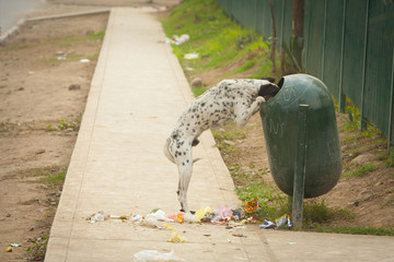A Dog Standing On Its Hind Legs With Its Head In The Garbage Receptacle With Garbage All Over The Sidewalk; Lima, Peru