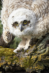 Baby Great Horned Owl (Bubo Virginianus); Leduc County, Alberta, Canada