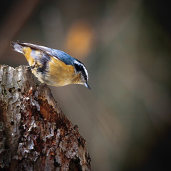 A Small Bird With Gold And Blue Feathers Stands On A Tree Stump; Edmonton, Alberta, Canada