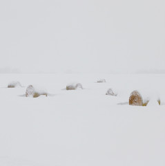 Snow Covered Hay Bales In A Field; Parkland County, Alberta, Canada