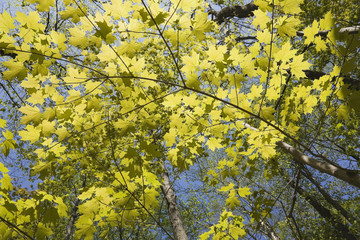 Backlit Maple Tree Branches At Springtime; Laval, Quebec, Canada