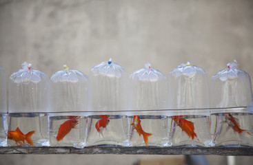 Plastic Bags Containing Pet Goldfish For Sale; Iloilo City, Panay, Philippines