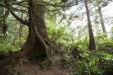A Hollow Old Growth Giant Redwood Tree Along The Path To South Beach In Pacific Rim National Park Near Tofino; British Columbia, Canada