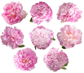 Set  peonies isolated on white background.